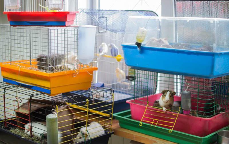 Морские свинки в зоомагазине