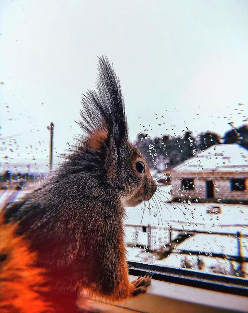 История бельчонка Чиппи из Карелии