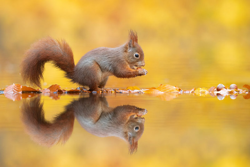 Фотографии белок в осеннем лесу от голландского фотографа Ван Дуйна