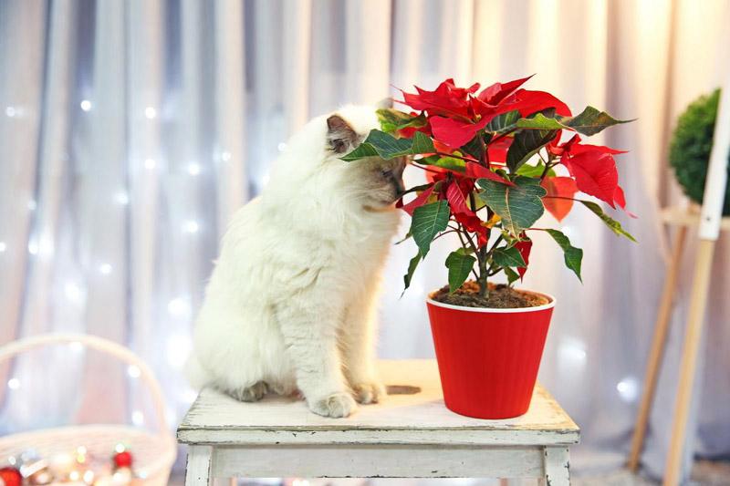 Опасные для кошек рождественские растения