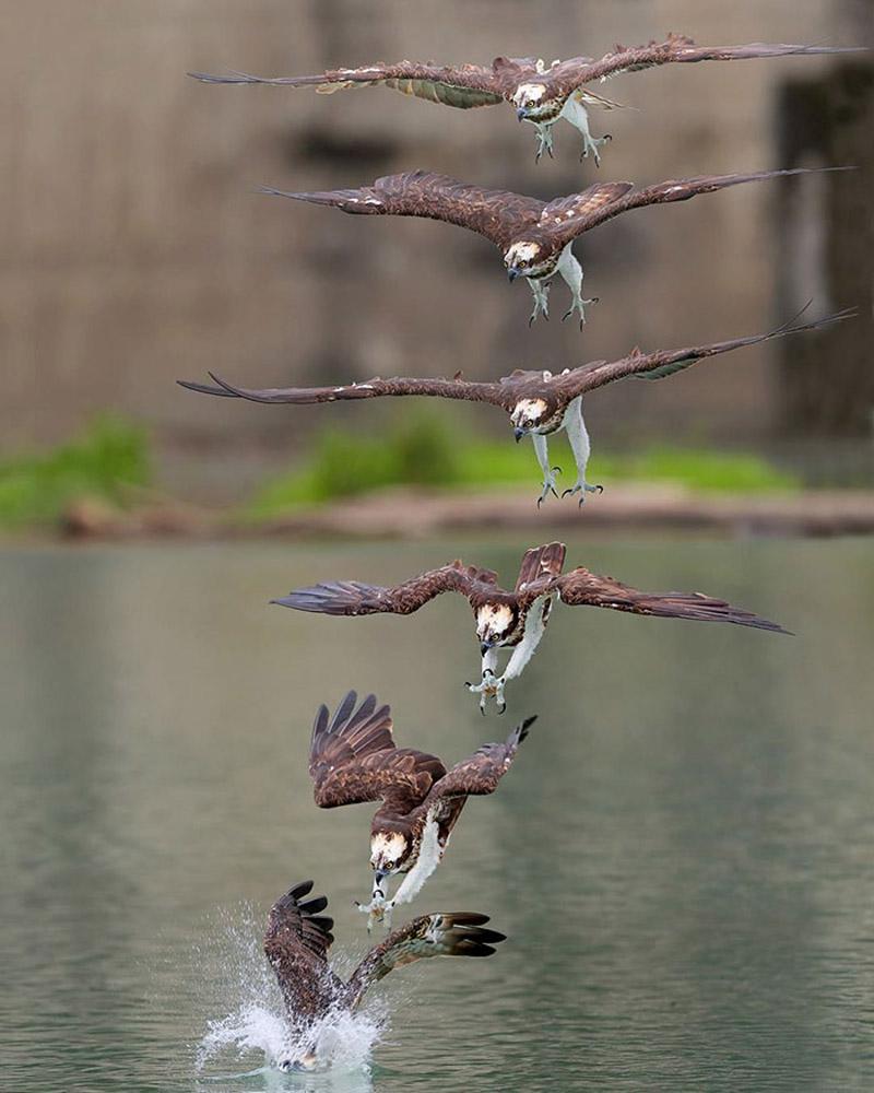 Фотографии охотящихся скоп от фотографа Chen Chengguang