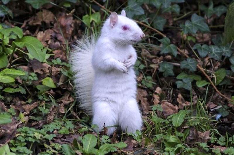 Белка альбинос