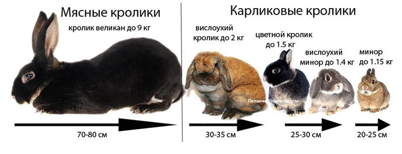 Размеры кроликов