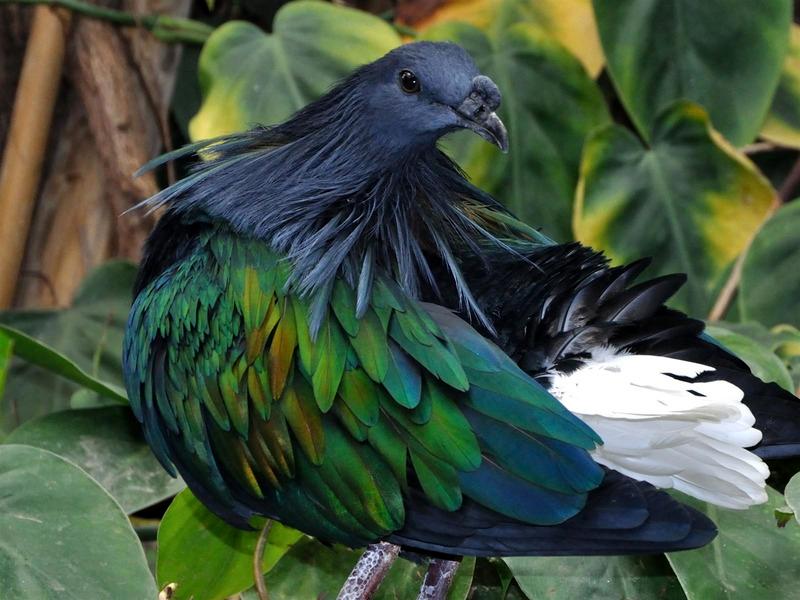 Никобарский гривастый голубь