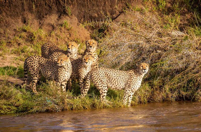 Потрясающие снимки плывущих гепардов