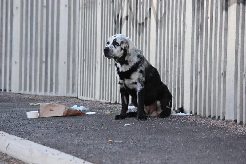 Черный пес с витилиго