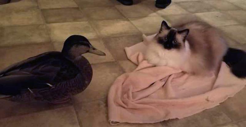 Черио и кошка