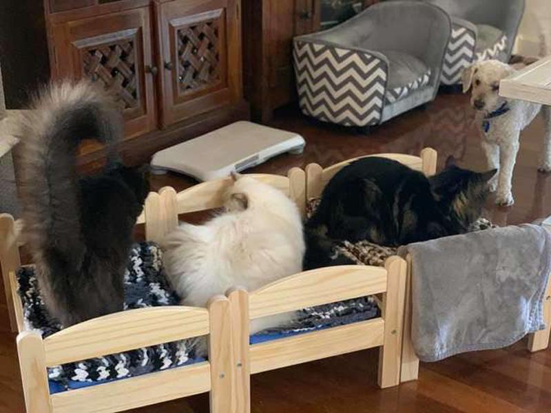 Три кошки и одна игрушечная кровать
