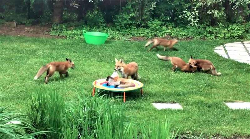 Лисы на заднем дворе