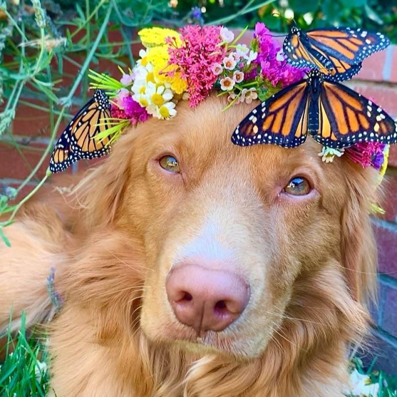 Влюбленный в бабочек ретривер Майло