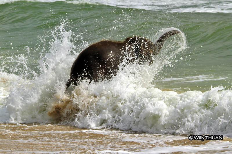 Купающийся в море слоненок
