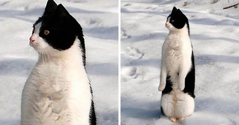 Коты прямостоящие