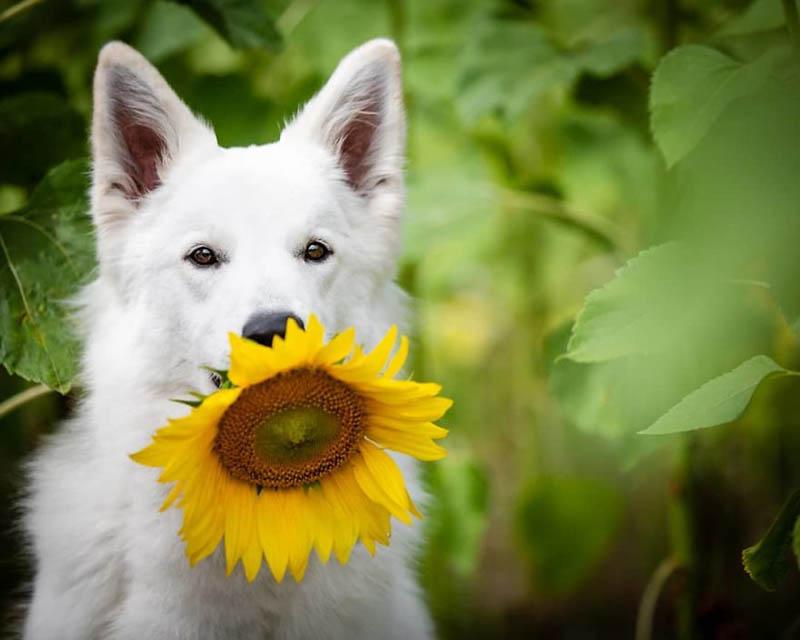 Белоснежные собаки Агнешки Чешинской