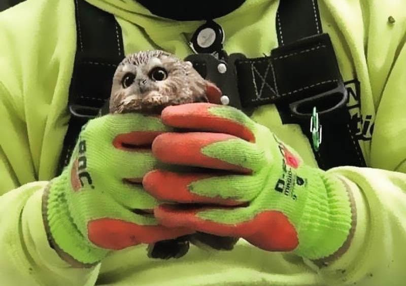 Спасения совы из рождественской елки Рокфеллеров