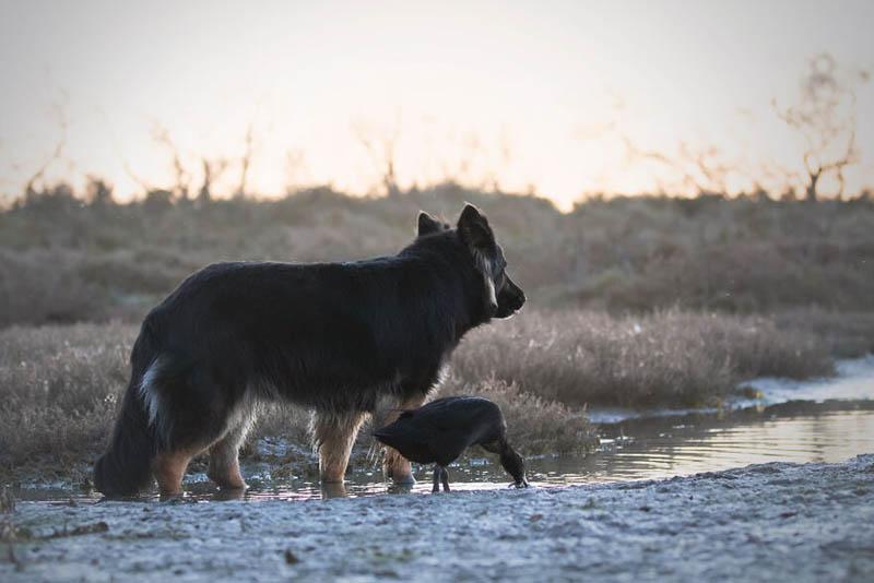 Собака, утка и два голубя