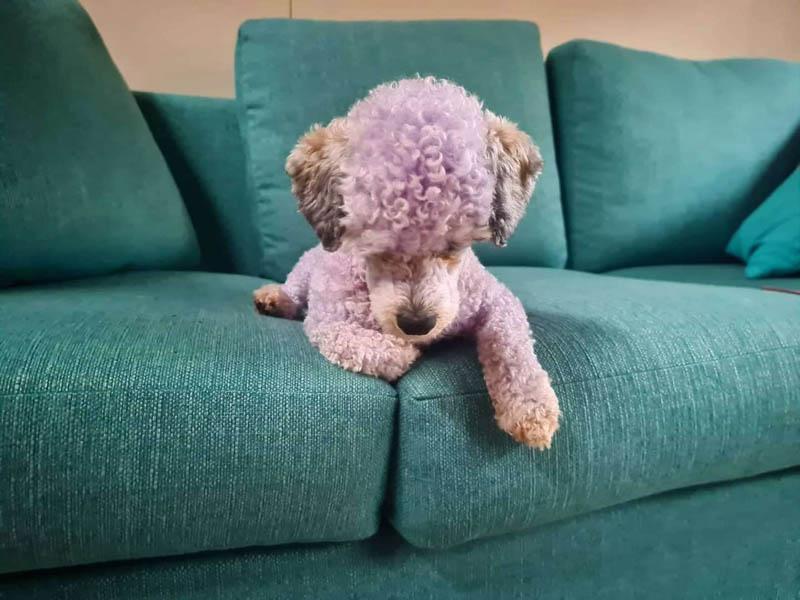 Сиреневая собака или как не стоит купать своего питомца