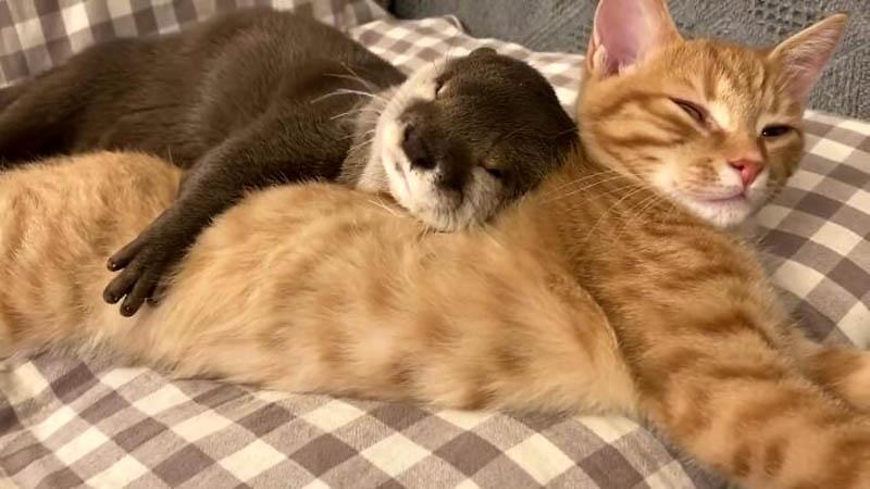 Дружба выдры и котенка