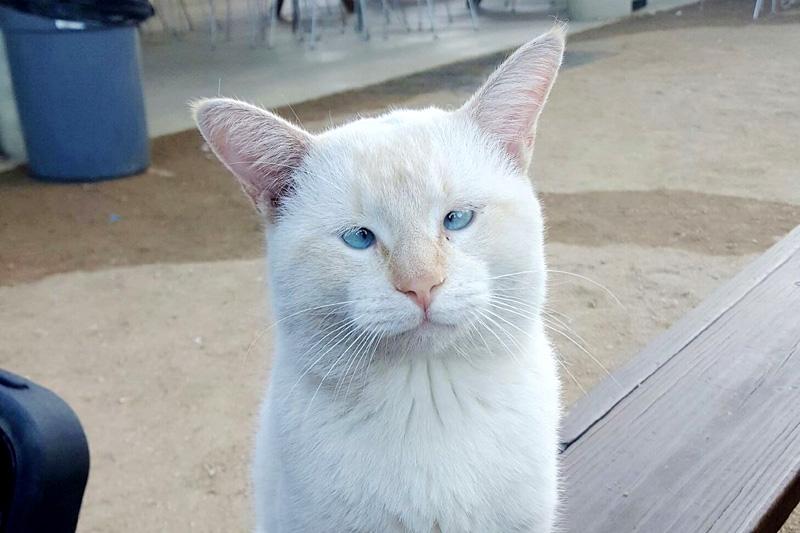 голубоглазый кот Альфред (Кримпуф)