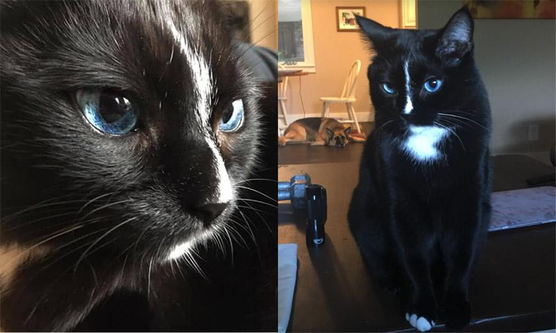 Голубоглазый кот Джо-Джо-Бин