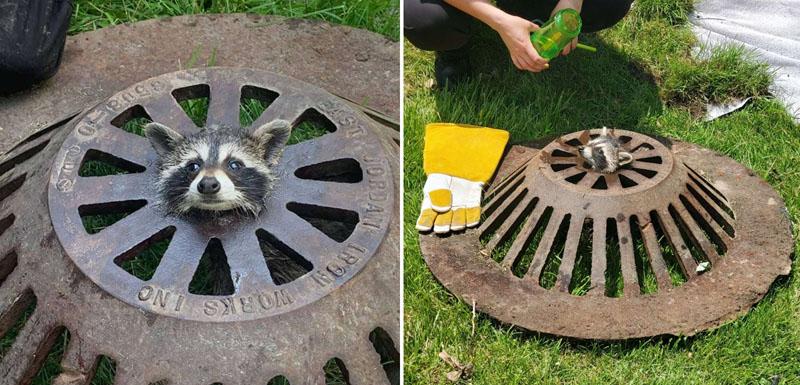 Спасение енота из решетки канализационного люка