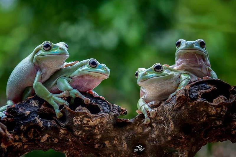Фотографии лягушек от индонезийского фотографа Аджара Сетиади