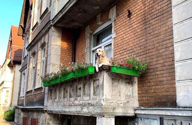 Сидящий на балконе золотистый ретривер  стал достопримечательностью Гданьска