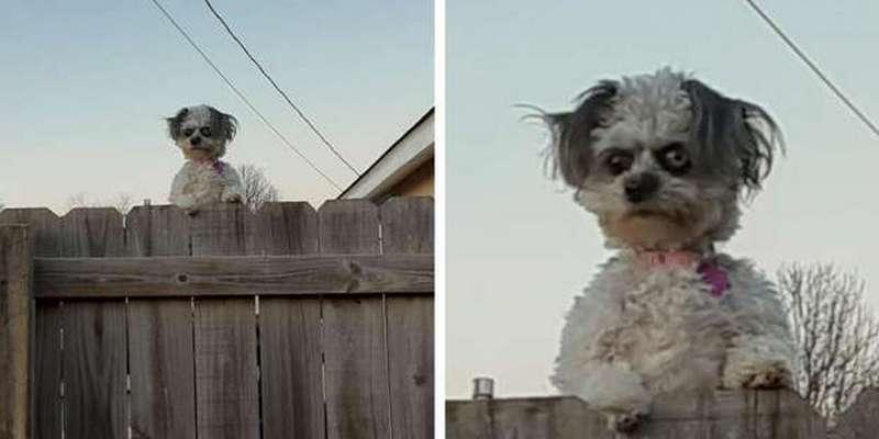 Маленькая собачка, выглядывающая из-за забора, пугает соседей