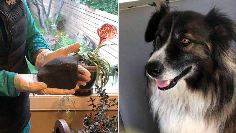 Пес спас свою хозяйку от… метеорита